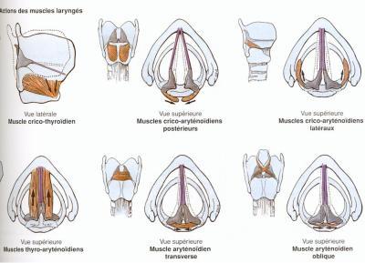 Les muscles du larynx :