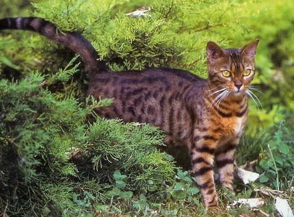 Le chat du bengal chats - Chat du bengal gratuit ...