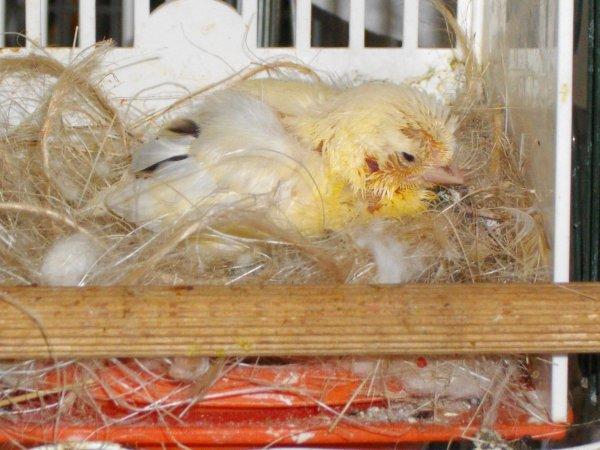 on vous l avait presente naissant ,,,,,,,,le voici pret a sortir de son nid douillet !