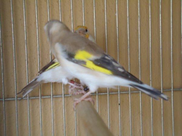 Mes oiseaux dans les changements de plumage=Alguns dos meus p�ssaros na muda da pena