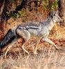 Le Chacal à flancs rayés