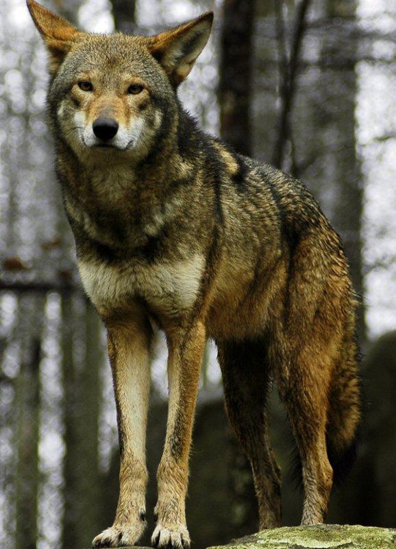 Le Loup Rouge