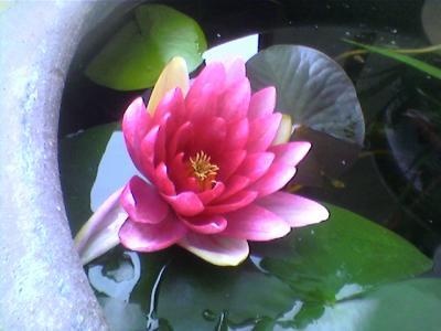La Plus Belle Fleur Du Monde La Fleur De Lotus Du Laos