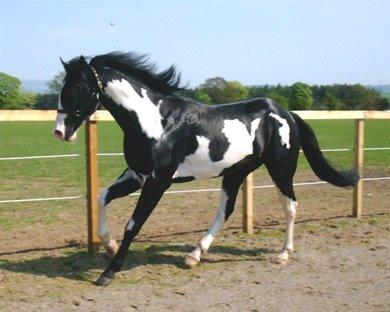 Les Paint Horses - Blog de cowboytown