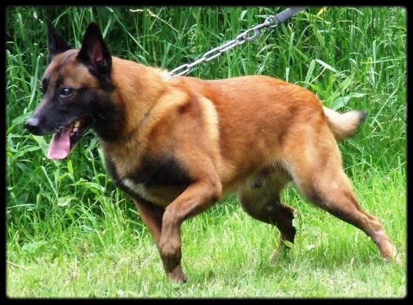 le malinois est il un chien de categorie