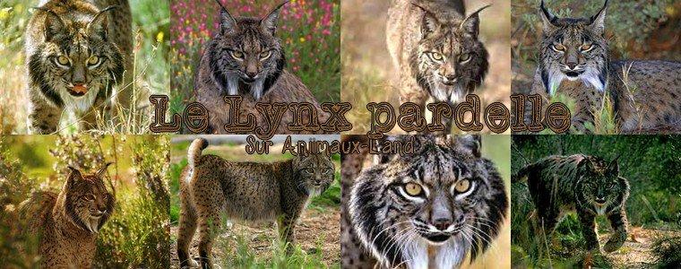 Article N°16__Le lynx  pardelle__Sur Aniimaux-land.skyrock.com