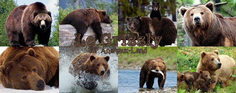 Article N�19__Le grizzly__Sur Aniimaux-land.skyrock.com