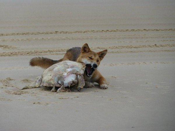 Le Dingo encore une esp�ce menac�e de disparaitre