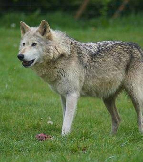 JE NE CESSERAIS de dire et de crier voir m�me � le hurler !!! que tout animal ou v�g�tation est utile � votre survie !!! incroyable ce que ces loups ont apport� � Yellowstone   Sans loups l'humanit� s'en va au d�sastre !!!!!!!!!!!!!!!