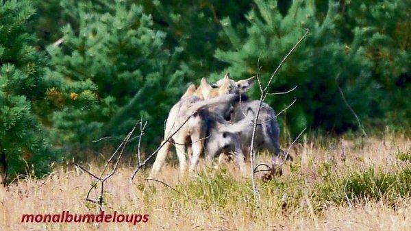 """La question de la """" r�introduction """" du loup"""