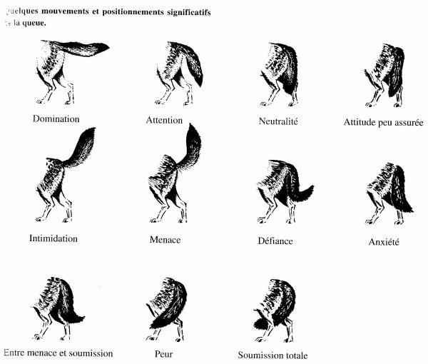 Langage du corps des Loups :  Suivant l'attitude de leur corps, on peut comprendre de suite leur façon de dialoguer (les chiens font de même). Ce que nous pourrions appeler le langage corporel.