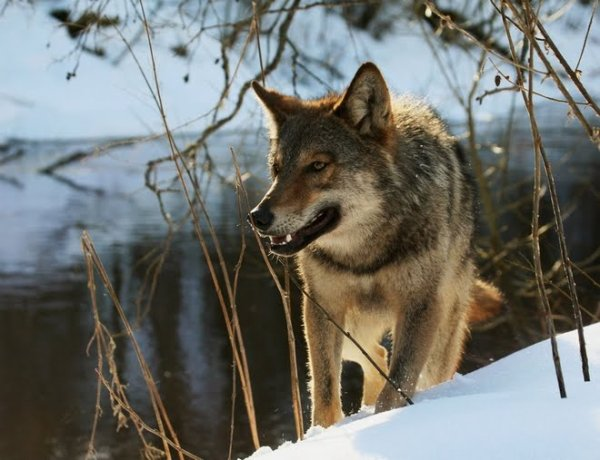RUSSIE : Loup de Sibérie (Canis lupus albus)  Le loup de Sibérie (Canis lupus albus) est une sous-espèce de loup gris (Canis lupus). Ce canidé, du genre Canis, est originaire de la toundra de Russie et du Kamtchatka. En dehors de la Russie, son aire de répartition comprend également l'extrême nord de la Scandinavie.