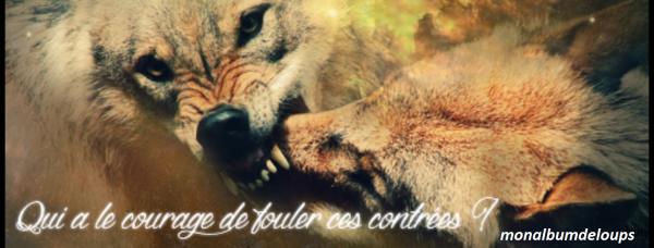 Comportement et attitude du loup face à l'humain