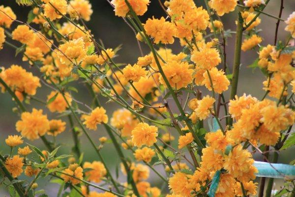 arbuste en fleur aux couleurs d 39 ete blog de valou33500. Black Bedroom Furniture Sets. Home Design Ideas