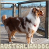 Australian-Dog