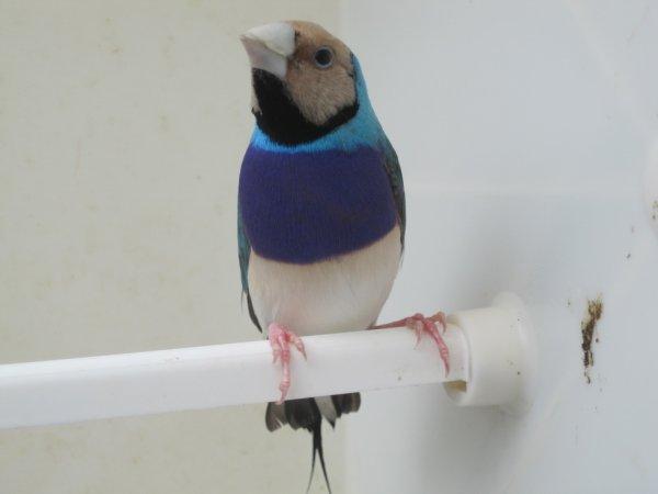 gould m�le bleu tr pv