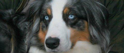Introduction: ce qu'il faut savoir sur le chien