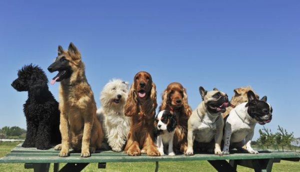 Les chiens class�s par groupe de race