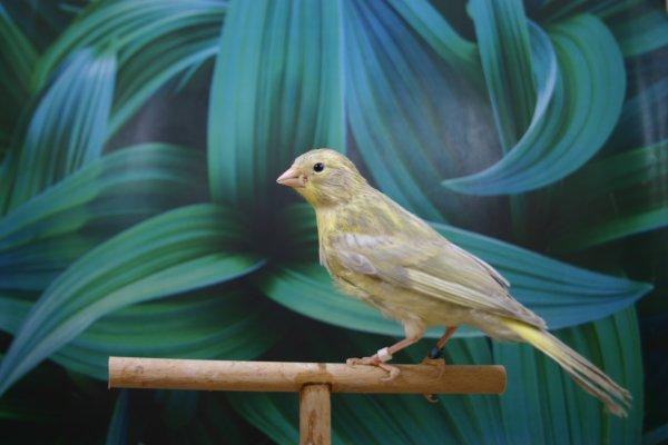 Canarios diluidos del 2011