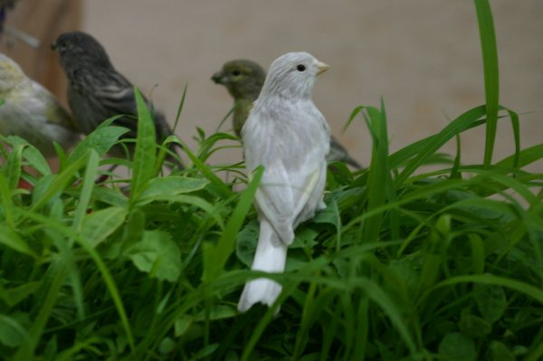 canarios diluidos descendientes de cardenalito