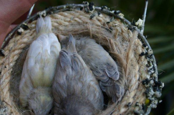 ´Canarios descsndientes de cardenalito diluido, 1 verde dd, y 2 grises diluidos.