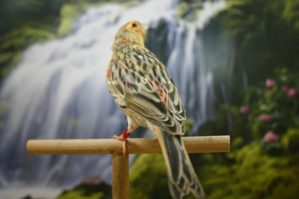 Canario agata rojo mosaico