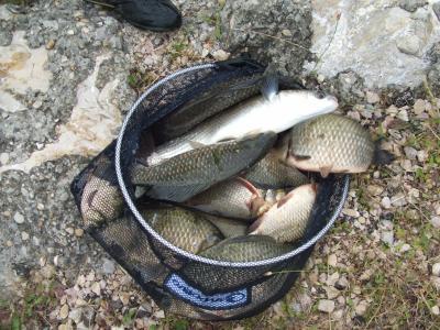 P che au bras mort du rh ne photo des poissons vue de pr s la p che au coup la carpe au - Peche du poisson chat au coup ...