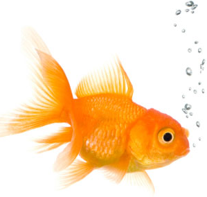 Poisson rouge cl mence ou cheep 39 s for Acheter poisson rouge 77