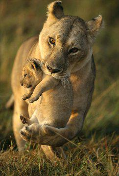 Information sur le lion et la lionne les felins - Felin de la savane ...