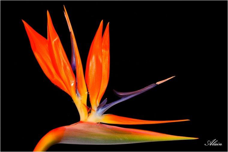 977 oiseau du paradis regards et reflets - Entretien oiseau du paradis ...