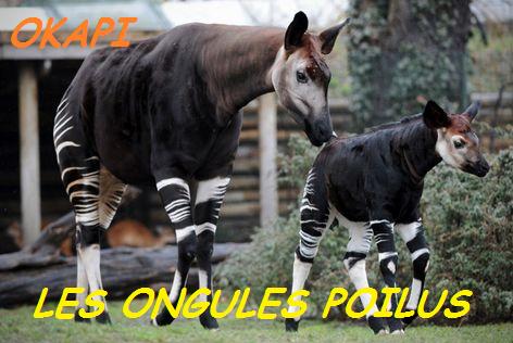 elevage okapi