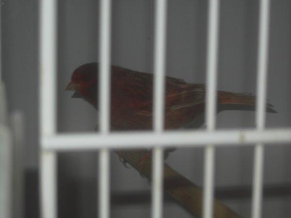 Pha�o rouge