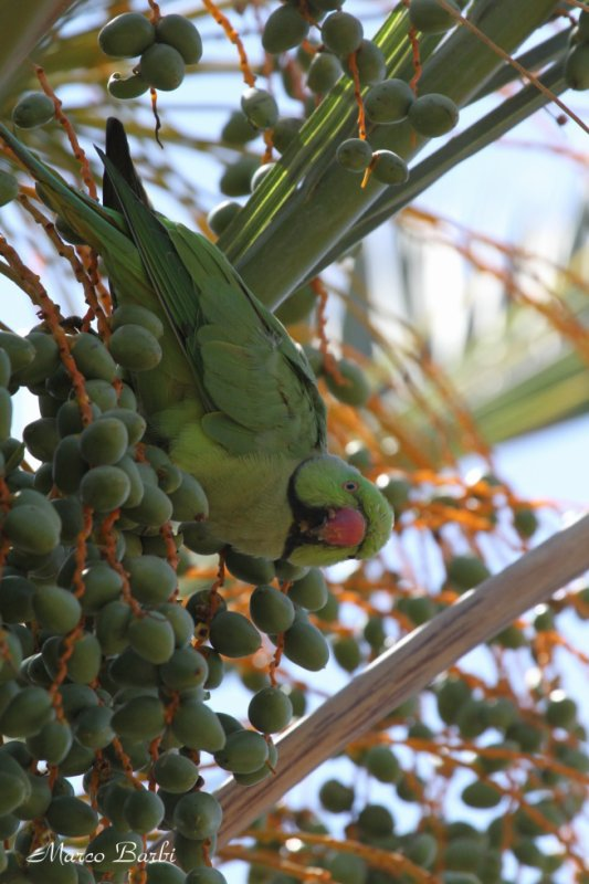 Perruche � collier (Psittacula krameri)