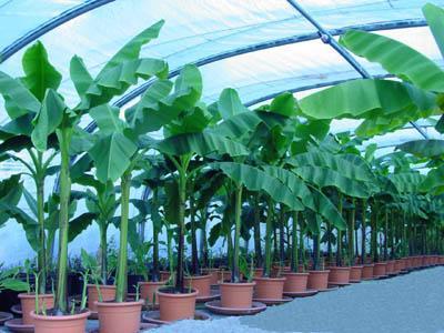 Blog de exotiplantes explication des plantes exotique for Grande plante verte exterieur