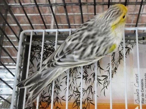 �gata Pastel Amarelo Mosaico Macho - Campe�o 4C
