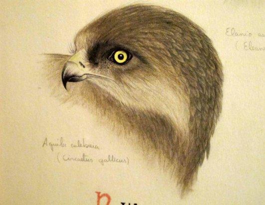 APUNTE DE AGUILA CULEBRERA (Circaetus gallicus )