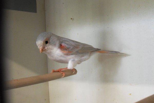 agate opale mosa�que  rouge