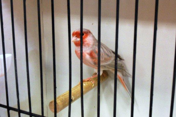 certains oiseaux prim�s au concours de Poix en Picardie
