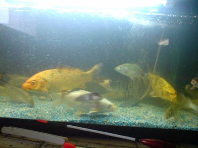 dans mon aquarium goumise carpo