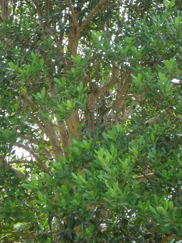 Blog de jade952  Page 7  LES MERVEILLES DE LA NATURE  ~ Bois D Inde Feuille