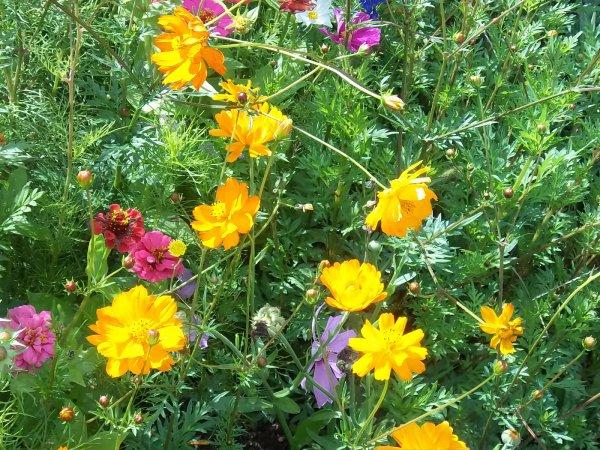 Les fleurs de ma jachere mon jardin des collines - Fleur de jachere ...