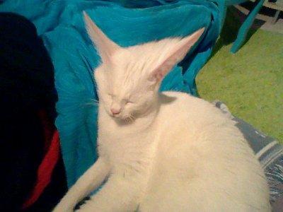 sa cest encore mon chat ac les grandes oreilles
