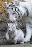 Photo de tigreblanc56