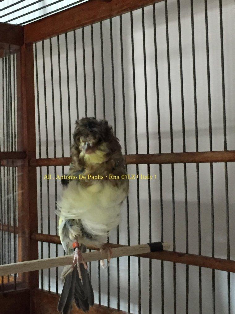 Baby Agi canary 2016 , 37 days old