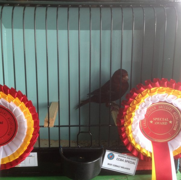 Intensive Red Black Cobalt - Best Novice Cobalt National 2015.
