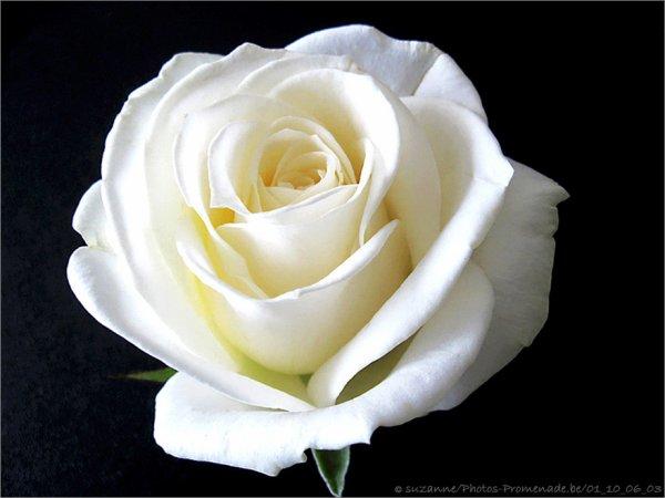 Le nouveau symbole du parti socialiste blog de colombiergeryetuin - Rose de noel blanche ...