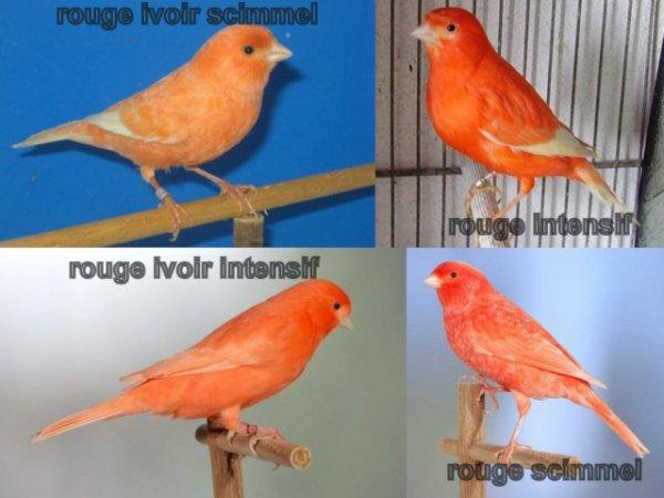 La genetique des canaris de couleur blog de abdo tata2 for Oiseau par la couleur