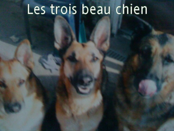 mais 3 berger allemand
