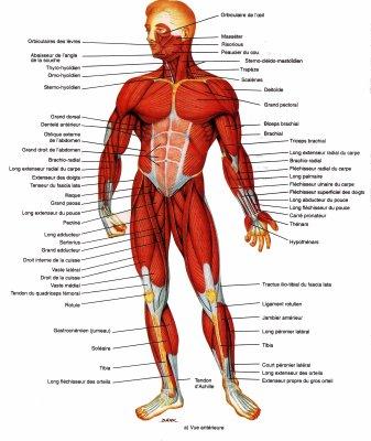 Anatomie du corps Humain - Blog de x-kiwan72-Lafay-x