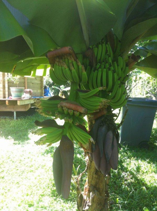 un bananier qui fait deux r gimes de banane c 39 est tres rare et c est dans mon jardin une. Black Bedroom Furniture Sets. Home Design Ideas